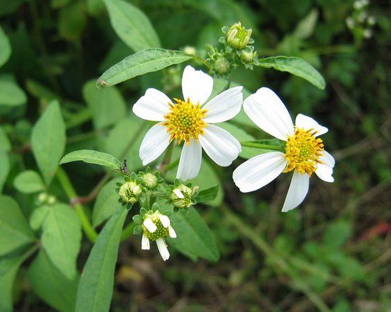 Wild Flowers of Palau 1